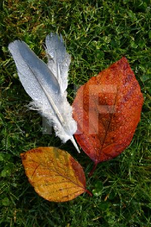 Federn und Herbstblätter im Morgentau