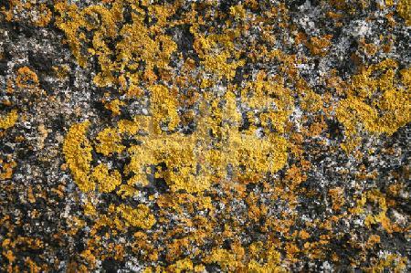 Bretonische Flechte (2)