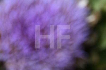 Farbstudie 1 (Artischockenblüte)