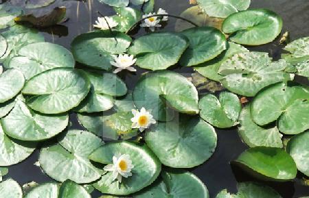 Seerosenblätter und -blüten