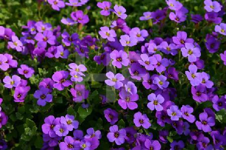 Violette Blüten eines Bodendeckers