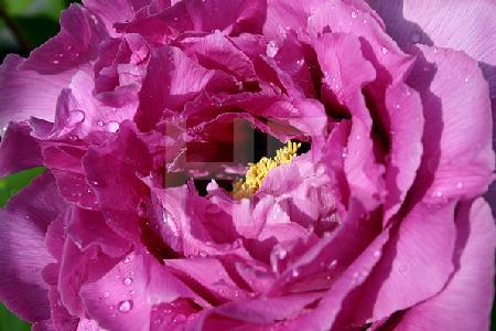 Violette Riesen-Paeonie, geöffnet
