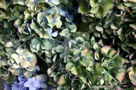 Fast verblühte blaue Hortensien