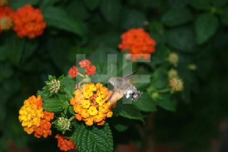 Taubenschwänzchen an oranger Wandelrose