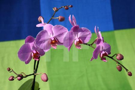 Orchideenrispe mit zart violetten Blüten