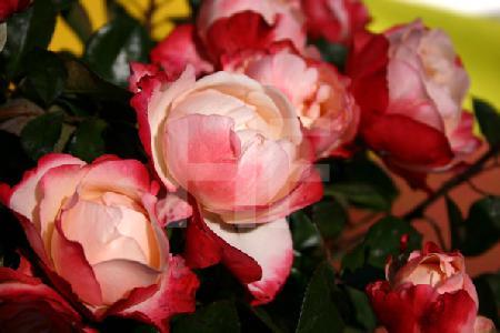 Rosa/rote Strauchrose