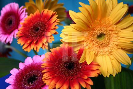 Violette, orange und gelbe Gerbera