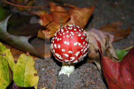 Fliegenpilz zwischen Herbstlaub; diesen Pilz haben wir im eigenen Garten gefunden – er war der zweite.