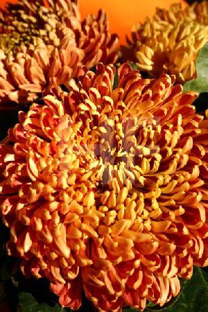 Gelborange Chrysanthemen, Hochformat