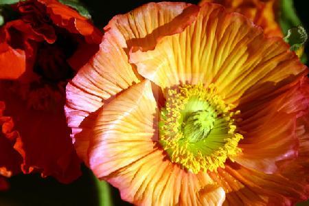 Orange Mohnblüten