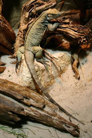 Leguan in Terrarium