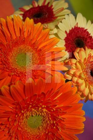 Gelbe, weißrote und orange Gerbera