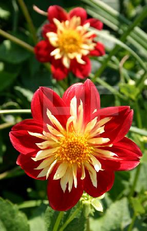 Rot-gelbe Dahlie