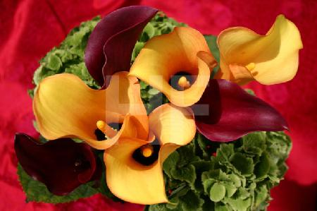 dunkelrote und gelbe Callas vor Rosa