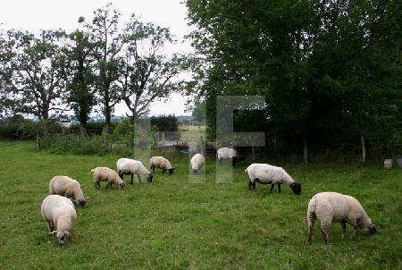 Schafe auf einer Weide in Südengland