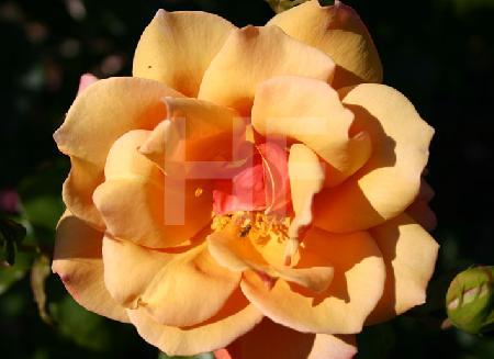 orangegelbe Rose mit Fliege