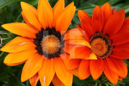 Zwei orange Astern