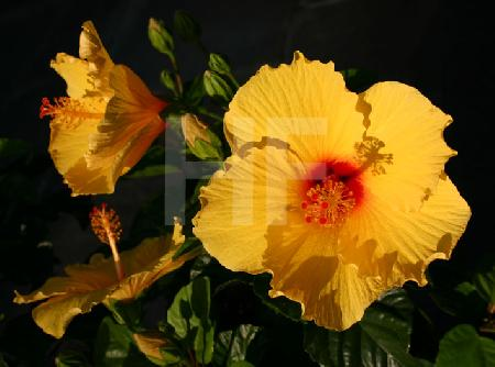 Gelbe Hibiskusblüten