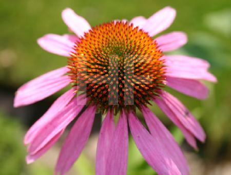 Echinacea-Blüte