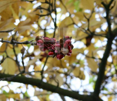 Aufgeplatzte Samenkapsel einer Magnolie