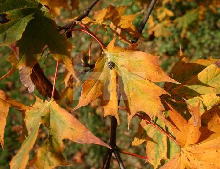 Schwarzgelber Marienkäfer auf gelbem Herbstlaub