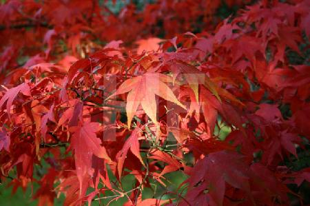 Herbstlaub eines Zierahorns, 2