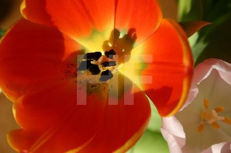 Herz einer orangen Tulpe