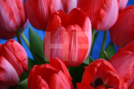 Pinke Tulpen vor Blau