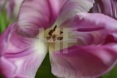 Das Innere einer lila Papageientulpe, 2