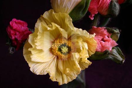 Bunter Klatschmohn, große gelbe Blüte