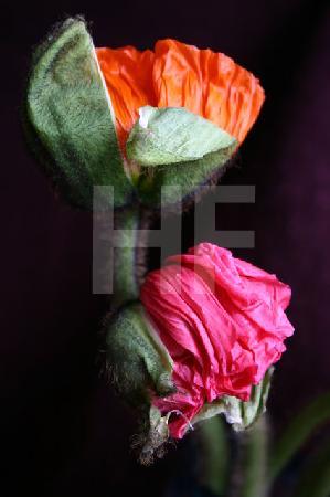 Orange und pinke Klatschmohn-Blüte