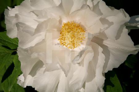 Blüte einer weißen Riesenpäonie
