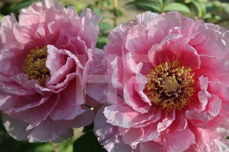 Zwei Blüten einer rosa Riesenpäonie