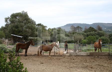 Pferde auf einer Koppel, Mallorca