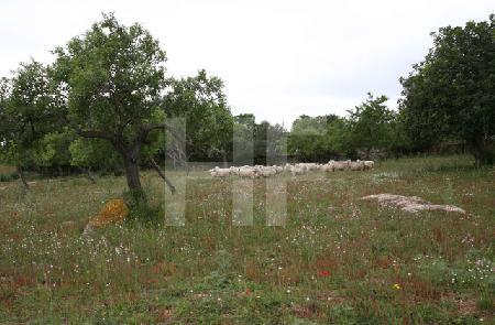 Schafe auf einer Wiese, Mallorca