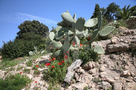 Mohn und Kaktus, Mallorca