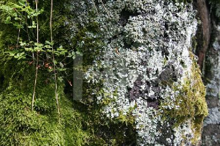 Vermooster Baum im Harz