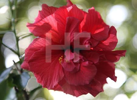 Rote Hibiskus-Blüte, sonnendurchleuchtet