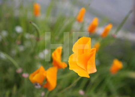 Die orangen Blüten des Goldmohn, Eschscholzia