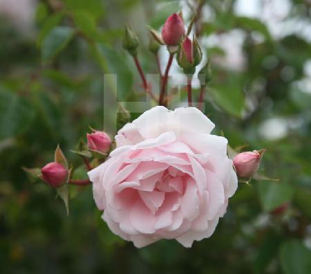Rosa Blüten eines Rosenstocks