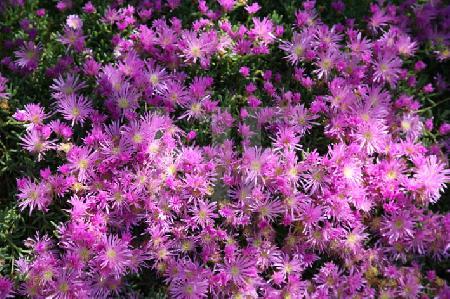 Violette Aster alpinus im Jardin Georges-Delaselle auf der Ile de Batz, Bretagne