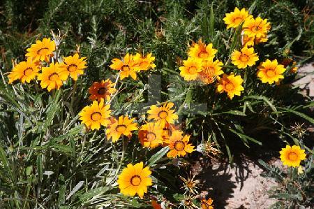 Gelbe Gazania im Jardin Georges-Delaselle auf der Ile de Batz, Bretagne