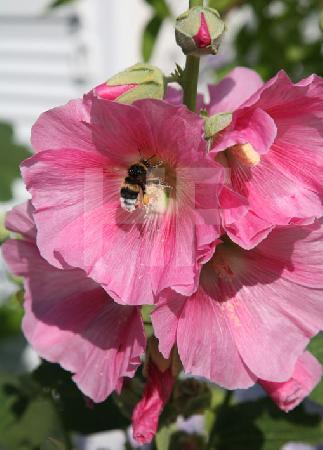 Hummel in einer rosa Stockrose