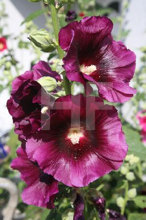 Violette Stockrose