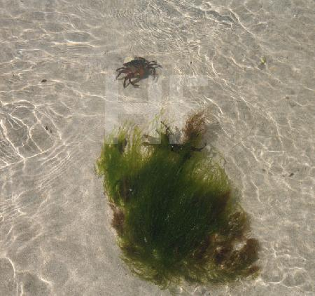 Krebs und Algen im Wasser bei Ebbe, Bretagne
