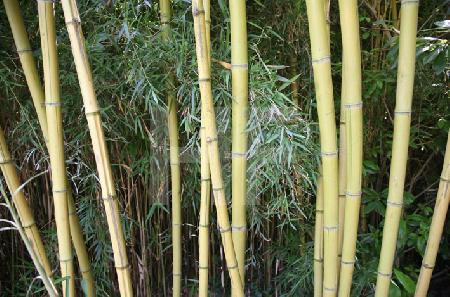 Bambus im Park des Conservatoire Botanique von Brest, Bretagne
