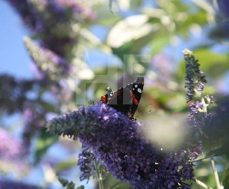 Ein Admiral auf der Blütendolde des Schmetterlingsbaumes
