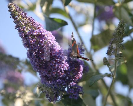 Ein Admiral auf der Blütendolde des Schmetterlingsbaumes (2)