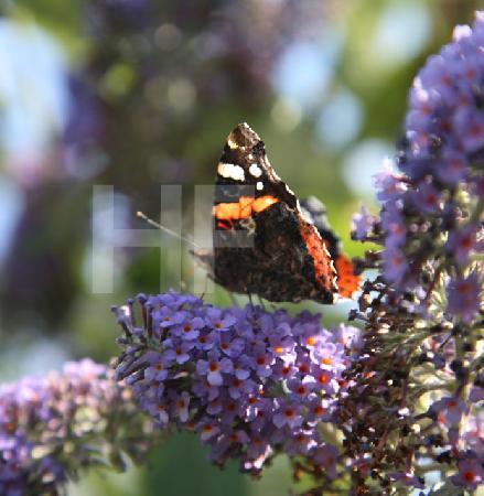 Ein Admiral auf der Blütendolde des Schmetterlingsbaumes (3)