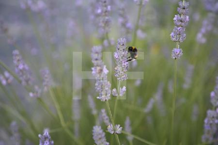 Hummel in Lavendel-Busch